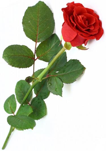 Una Rosa Rossa Guardiavecchia